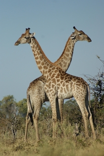 Two giraffes in the Okavango Delta Botswana