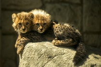 Two-Headed Cheetah Cub Acinonyx jubatus