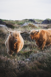 Two highland cows at Baslow Edge Peak District Bakewell UK Photo credit to Kieran Yates