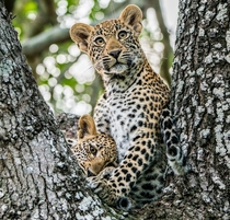 Two leopard cubs play in a tree as they wait for their mother to return from a hunt in South Africas Kruger National Park photo by Mark Brodkins