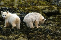 Two little Spirit bear cubs feasting on mussels