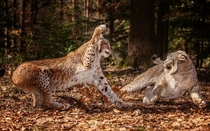 Two lynxes clashing in a dangerous tussle