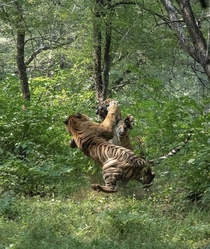 Two male tigers do battle