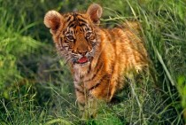 Two month old Indian tiger cub