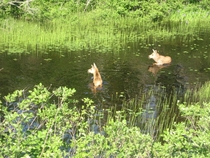 Two moose calves enjoying a meal of waterlilies in a Newfoundland pond