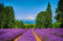 Two options when you come across a Lavender Farm while hiking move on or take it home forever  Mount Shasta Northern California