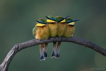 Two Pairs of Kenyan Little Bee-Eaters Merops pusillus  photo by Kirill Trubitsyn