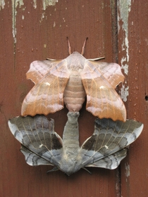 Two poplar hawk-moths in the process of mating Photo Kateshortforbob Belfast Northern Ireland July
