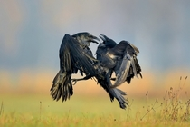 Two Ravens go face to face Photographed by Robert Babisz