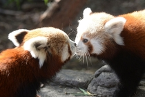 Two Red Panda Cubs Alan Porritt
