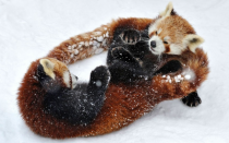 Two Red Pandas look tangled up as they play in the snow  x-post from rredpandas
