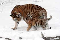 Two Siberian Tigers Panthera tigris altaica walking in the snow