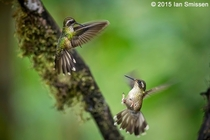 Two Speckled Hummingbirds fighting in flight Bellavista Lodge Ecuador taken by Ian Smissen