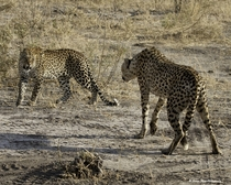 Two spotted predators - a male cheetah and a female leopard - face off as the leopard moves in to steal the cheetahs fresh kill