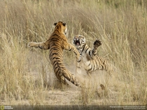 Two tigers playfighting in Bandhavgarh National Park Photo by Archna Singh