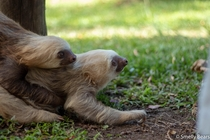Two young Two Toed Sloths playing with each other halfway through their release program The Toucan Rescue Ranch in Costa Rica uses a  stage program to ensure each sloth has the best chance to reintegrate successfully