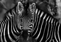 Two zebras blend as one in South Africa OS