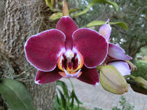 Tyrian purple orchid