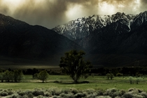 Under a looming storm an Eastern Sierra tree sits among cow friends Bishop CA