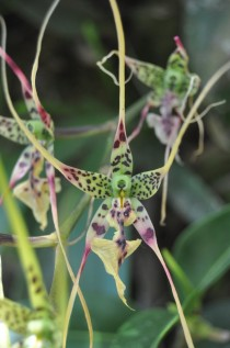Unknown Orchid Fantastic diversity of colors and wild elongation of the flower petals