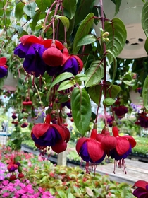 Unreal looking fuchsia found at a nursery