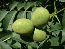 Unripe nuts of Juglans regia a species of Old World walnut Native to the region stretching from the Balkans eastward to the Himalayas and southwest China it has been introduced to much of Europe and the United States Photo George Chernilevsky
