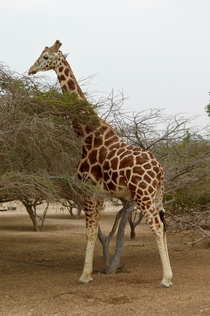 Untamed giraffe on Sirbaniyas Island UAE