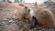 Up close and personal with prairie dogs genus Cynomys