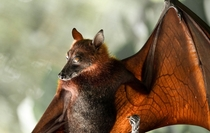 Upside down picture of a Flying Fox P vampyrus
