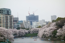 Urban Density Row Boats and Cherry Blossoms Tokyo Japan