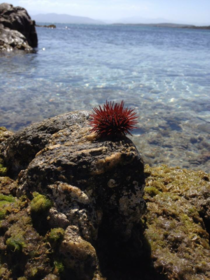 Urchin on the coast of Sardinia Italy