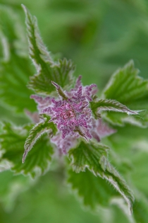 Urtica dioica often called the common nettle