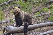 USA Frank van Manen a United States Geological Survey USGS grizzly bear researcher snapped this picture of a mother grizzly bear and her cub in Yellowstone National Park