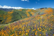 Vast Hillsides of SoCal Wildflowers