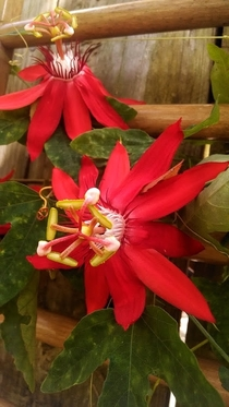 Vibrant red Passion Flowers Passiflora