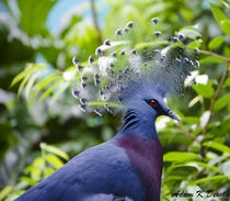 Victoria crowned pigeon - the largest pigeon in the world and native to Papua New Guinea