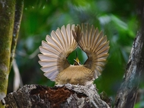 Victorias riflebird Ptiloris victoriae Queensland Australia Photograph by Dean Jewell
