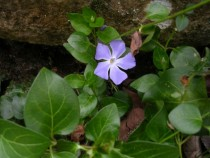Vinca minor L common periwinkle