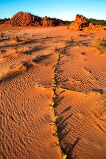 Vine in the Sand Cape Leveque Kimberley Western Australia