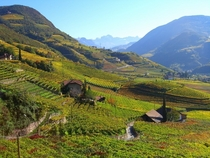 Vineyards in South Tyrol Italy
