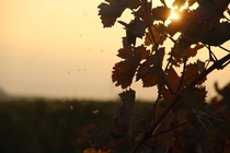 Vineyards in the sunset