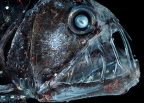Viperfish- The bioluminescent spots lure prey in and the giant teeth seize it Prey is swallowed whole Solvin Zankl