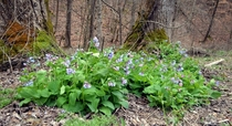 Virginia bluebells Mertensia virginica Cherokee National Forest Tennessee