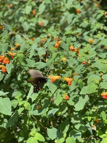 Visiting the Jewelweed aka Spotted Touch-Me-Not aka Impatiens Capensis  side note - freshly harvested jewelweed can make a great poison ivy salve