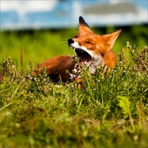 Vulpes vulpes yawning in the Grass