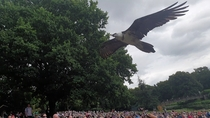 Vulture at the Falconry show at Warwick Castle  West Midlands England  x