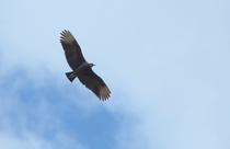 Vulture on Cumberland Island USA