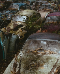 VW Beetles Graveyard  x
