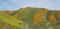 Walker Canyon CA during the poppy bloom of