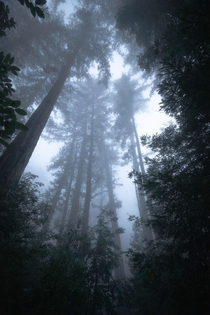 Walking among the giants in the magical redwood forests of Big Sur California